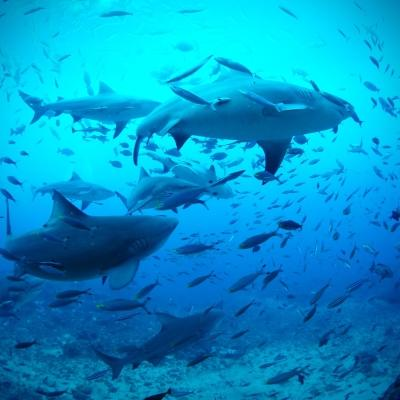Sharks swimming in Fiji while volunteers conduct research on marine conservation.